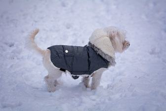 dog in snow wearing a coat