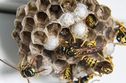 nest with pupa and wasps